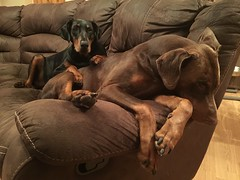 Friends Forever - Dobermann Pinschers Gabbana and Zeus Relaxing Together (firehouse.ie) Tags: gabbana dogs dog tan brown black red zeus pinscher pinschers dobermans doberman dobermanns dobermann dobes dobe dobies dobie dobeys dobey