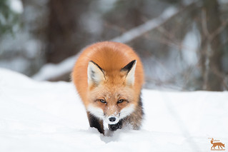 A new year a new Fox