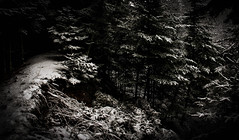 along the edge (A. Wrench) Tags: snow trees forest woods branches sticks shoreline winter path trail nature landscape bw monochrome spruce balsam fir evergreen wisconsin berm north northwoods cold snowfall shadow