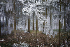 Forest Cold (memories-in-motion) Tags: winterwald winter forest wald woodland landscape fichten raureif cold white dark different walk nature natur bayern outdoor germany leica q 28mm bokeh nadeln trees imagine fairy tale märchen rime frosty