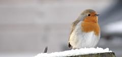 Robin (Ian Jackson 1974) Tags: robin winter aberdeenshire february 2017