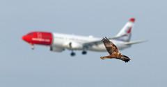 Cruce en el aire (vic_206) Tags: bcn lebl avión plane norwegian aguila aguilucho deltadelllobregat dof estanydecaltet spotting boeing737800