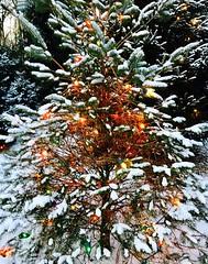 backyard Christmas tree (karma (Karen)) Tags: baltimore maryland home backyard christmastrees spruce lights snow htmt cmwd