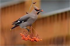 """Waxwing ( Bombycilla garrulus ) (DaveChapman """"If it flies,I shoot it"""") Tags: waxwing waxwings bombycillagarrulus migration migrant bird birds flock winter wildlife uk england"""