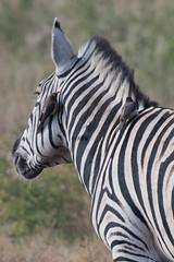 DSC_5148 (mylesm00re) Tags: africa buphaguserythrorhynchus burchellszebra equusquaggaburchellii limpopo redbilledoxpecker rooibekrenostervoel welgevondengamereserve za bird mhondorogamelodge sebra southafrica waterhole zebra