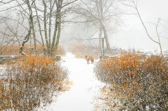 Little Bit of Red (floralgal) Tags: ryenewyork newyorklandscape marshlandsconservancy snowydayinryenewyork winterinnewyork naturepreserve bird marshlands park woodlands westchestercountynewyork fox redfox snowtrails