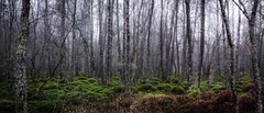 Forest Ghosts (Augmented Reality Images (Getty Contributor)) Tags: atmosphere canon creepy fog forest landscape leefilters longexposure moss nature panorama perthshire scotland trees winter
