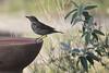 Song thrush (David Lev) Tags: nirim mygarden birdbath bird