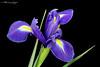 Iris Bloom 0309 Copyrighted (Tjerger) Tags: nature blackbackground bloom closeup flora flower green iris leaves macro petals plant portrait purple stem white winter wisconsin yellow