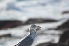 DPP_5152 (dncummings) Tags: york maine january snow coast ocean nature landscape photography coastline seagull nubble lighthouse