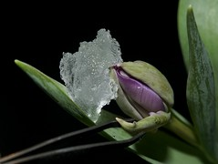 Looking for Spring 2 (jugglingpics) Tags: itsapeelingtome macromonday tulip macromondays lila tulpe eis blüte flower