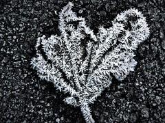Frozen (petermorton42) Tags: frozenleaf frost london ice garden winter