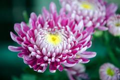 In the making (Pensive glance) Tags: chrysanthemum chrysanthème flower fleur plant plante