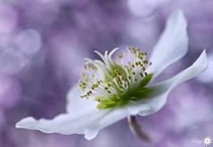 In my mind I am ... (Trayc99) Tags: flower beautyinnature beautyinmacro beautiful petals floralart flowerphotography floral bokeh softbackground softness delicate depthoffield macro plant bloom hellebore