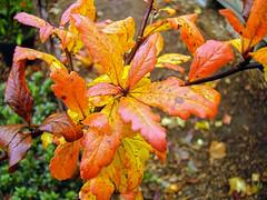 +Crataegomespilus dardarii; Rosaceae (2) (pflanzenflüsterer) Tags: rosaceae pyrinae pfropfchimaere herbstfärbung crataegus mespilus obst strauch dornen orange