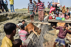 Kolatoli Chor, Hatia, February 2017 (arju.r) Tags: 2017 boat camp cattle cow farmer hatia lamb meghna monpura outdoor rural street trade transport trollar