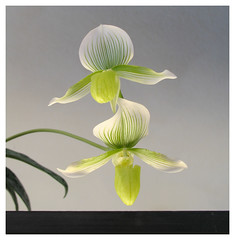 Orchid hybrid:  Paph. Maudiae (redux) (roddh) Tags: white orchid flower macro green topf25 topv111 canon topv333 searchthebest topv1111 paph pro1 paphiopedilum orchidoftheweek maudiae roddh makulicurtisii