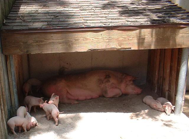 family of pigs, Toledo Zoo