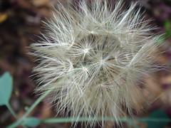 Dandelion (marlenells) Tags: flower macro topc25 topv111 closeup 510fav topv555 topv333 dof dandelion quintaflower maringá