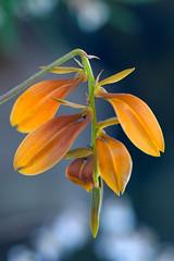 Bulbophyllum kanburiense (Eric Hunt.) Tags: orange orchid flower strange weird d70 bokeh orchidaceae bulbophyllum bulbophyllumkanburiense poe2006 bokehsoniceaugust bokehsoniceaugust30