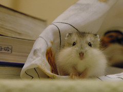 Hey.. (EricFlickr) Tags: pet animal taiwan hamster