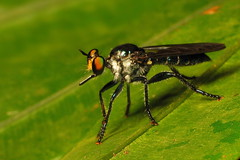 Robber Fly (spilopterus) Tags: fly canonpowershots2is robber raynoxdcr250