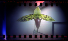 Lady Slipper ([ CK ]) Tags: orchid flower wideangle pinhole lightleak altoids ladyslipper homemadecamera homemadepinhole pinholesnapshots 1minuteexposure mintycam