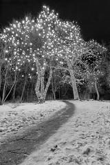 Trail of Illumination (Theodore A. Stark) Tags: ifttt 500px 2015 5d mark ii co canon chatfield cold colorado december denver botanic gardens holidays jefferson county lights outdoors stark tstarkcom ted theodore a trail usa