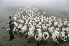 Entre niebla (Jabi Artaraz) Tags: jartaraz jabiartaraz jonetxebarria artaldea rebaño niebla montaña mendia