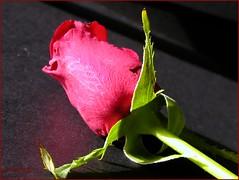 Red Rose Studies IV/V (✿ Graça Vargas ✿) Tags: 2005 red © flower rose all rights bud vargas reserved graça graçavargas 32902140909 ©2005graçavargasallrightsreserved