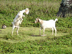 Goats (Ara G) Tags: kauai hawaii goat play gardenisland nature