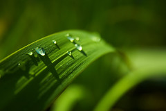 Drops of Heaven (| HD |) Tags: macro green 20d nature water up leaves canon garden leaf drops heaven close natural drop hd creature darwish hamad
