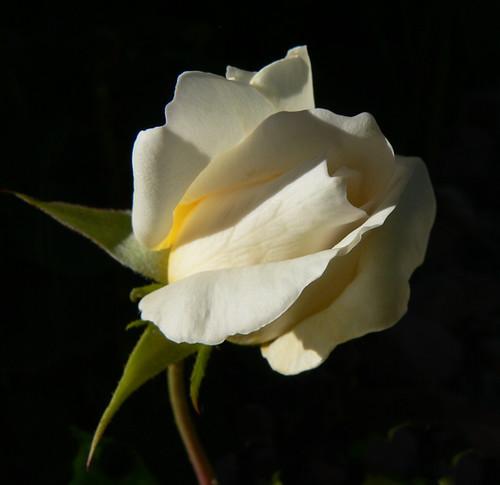 white rose flowers. White Rose bud by EyeOfTheJen