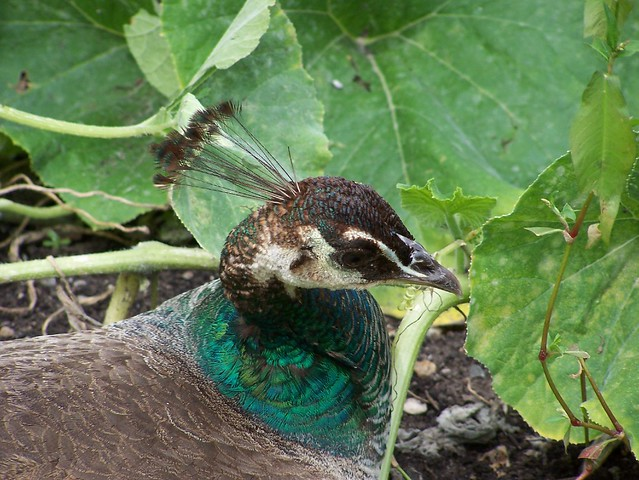 Some Peahen action