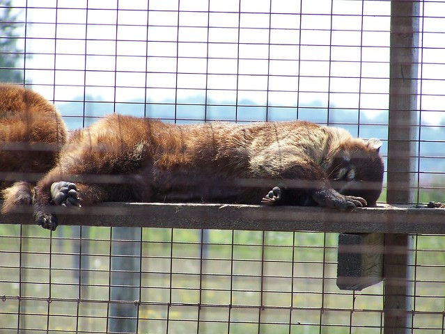 Sleepy coatimundi 2