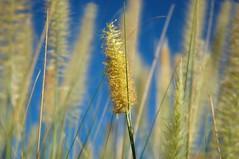 solo (G r e n) Tags: arizona grass nikon d70 havingfun gren ilikegrass bettyschlueter bettyschlueter