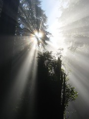 Sun through redwoods, portrait 1 (Martin LaBar) Tags: morning trees light shadow sun sunlight tree fog sunrise bravo ray shadows quote glory halo corona quotes redwood redwoods rays cupressaceae macdonald georgemacdonald coastalredwood supershot a1f1