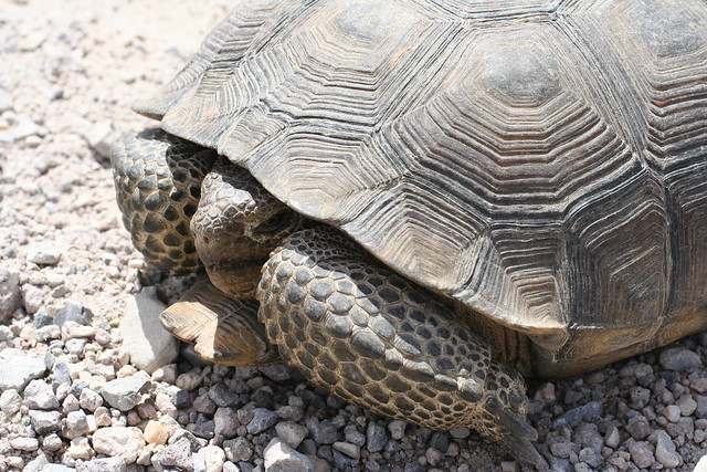 The federally Threatened desert tortoise | Chris Clarke photo