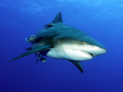sharklife 5 (Fiona Ayerst) Tags: ocean blue motion beauty animals grey shark big underwater indian teeth scuba bull sharks strength jacks mozambique zambezi trevally blueribbonwinner photogrpher abigfave superbmasterpiece beyondexcellence flickrdiamond diamondclass frhwofavs