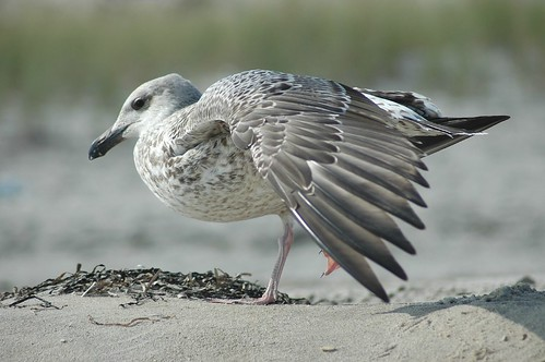 gull by Alida's Photos