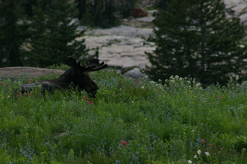 moose and wild flowers