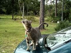 Emma Scratching on the Antenna (moonpieg8tr) Tags: beautifulcats emmagray