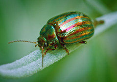 Intruder Alert! (simpologist) Tags: england london eye dof beetle motionblur poop vignette brixton compoundeye chrysolinaamericana rosemaryleafbeetle jewelscarab