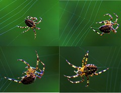 spider at work (algo) Tags: photography spider woods topf50 500plus spiders web topv1111 topv999 spinning top20nature topv777 top20macro algo topv3333 webs gardenspider aranya 50f 50906 exploretop20 90613