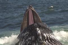 Humpback (tim ellis) Tags: holiday massive photofriday whale humpback humpbackwhale expanding megapteranovaeangliae cetacean specanimal bigpicture2008 msh0409 msh040919 hc07082 hc0708