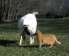 Goats love cats (Boered) Tags: goat boer cat most favorited boergoat top20animalpix 100v10f top20catpix onetopfave cc700 cc800