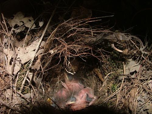 Carolina wren nestlings