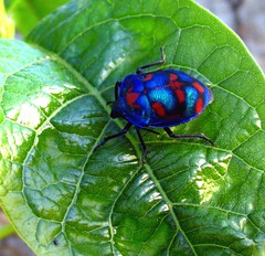 harlequin bug (*omnia*) Tags: blue red green topf25 topv111 bug insect leaf beetle australia coffsharbour pc2450 auspctagged harlequinbug cottonharlequinbug tectocorisdiophthalmus scutelleridae bugssettag