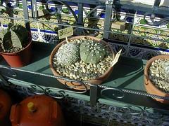 C.Astro Asterias y Superkabuto (antoniomolina1944) Tags: cactus astrophytum asterias superkabuto