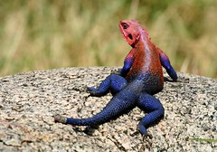 Lizard (Gaurav-P) Tags: africa animals tanzania wildlife lizard serengeti agama 81points
